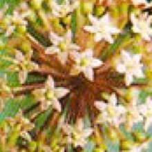 Female flower of Eleuthero